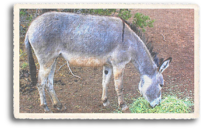 An adoped wild Burro (or donkey) adapts to a domesticated farm lifestyle in Northern New Mexico. He is enjoying a meal of hay, as opposed to foraging on the sometimes dry and sparse grasses of the high desert.