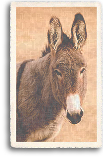 A portrait of the one of the most beloved farm animals in the Southwest, the Burro (or donkey).