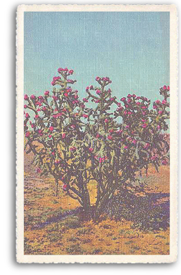 This vintage postcard features a good example of the Chola or Buckthorn cactus in full bloom. Here, the Chola is seen as it actually grows, in a bush-like fashion. This type of cactus grows wild in most parts of Northern New Mexico and throughout the entire Southwest.