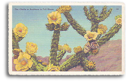 This vintage postcard features a closeup view of the Chola or Buckthorn cactus in full bloom. This type of cactus grows wild in most parts of Northern New Mexico and throughout the entire Southwest.