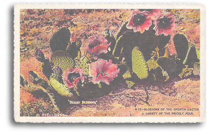 This vintage postcard features a closeup view of the Prickly Pear cactus in full bloom. This type of cactus grows wild in most parts of Northern New Mexico and throughout the entire Southwest.