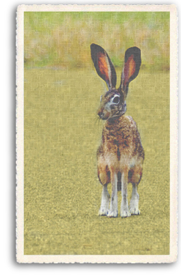 This Jack Rabbit sits on its haunches, tentatively ready to flee at any sign of approaching danger. These rabbits, or hares, are large and powerful and run at extremly high speeds.