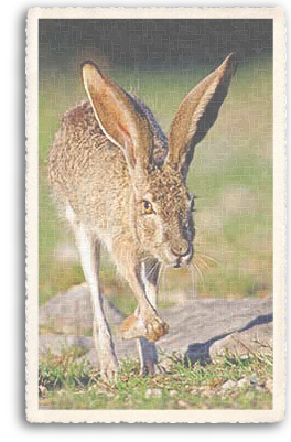 Here you can get a good look at what a Jack Rabbit is really like. These rabbits, or hares, have a strangely haunting beauty and extremely long ears that have to be seen to be believed!