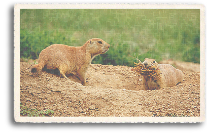 Prairie Dogs in the process of building their home outside Taos, New Mexico.